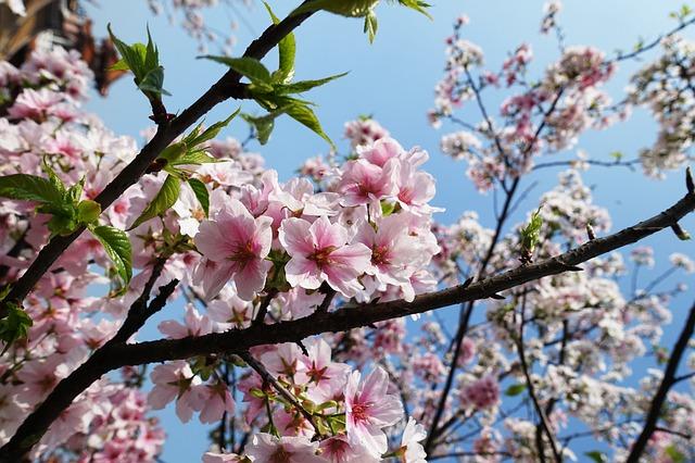 El cerezo japonés: Sakura